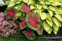 'Freida Hempel' caladium between heuchera