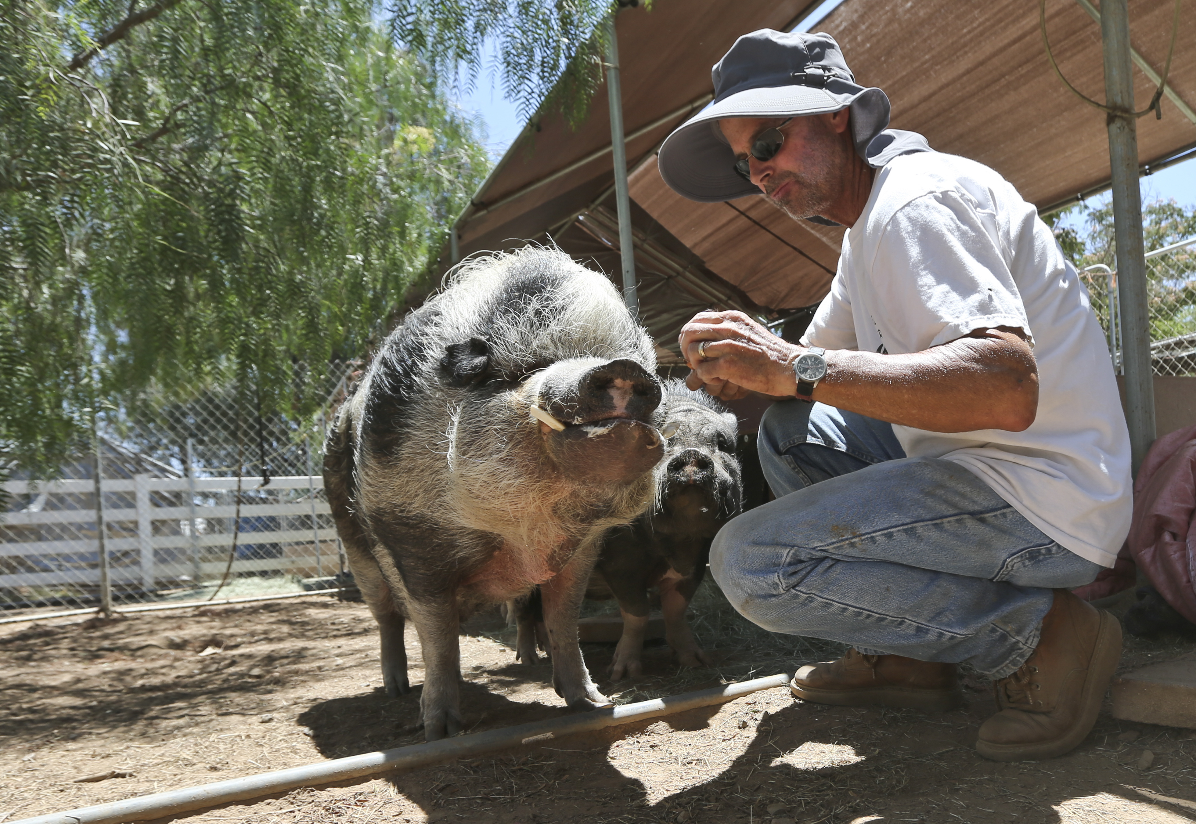 Marty Koontz, co-owner of the Grazin Pig Acres rescue ranch, feeds one of the pot-bellied pigs living on the ranch run by Koontz and his wife, Nancy Koontz, Tuesday July 14, 2015 in Ramona, Calif. The ranch is home to 98 pot bellied pigs that have been rescued by Nancy and Marty Koontz, The craze for tiny pet pigs started decades ago and gets reignited every few years. Once they grow too big to handle, people give them up.  (AP Photo/Lenny Ignelzi)