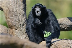One of the two new siamangs eats in a tree at The Islands exhibit at the Pittsburgh Zoo & PPG Aquarium on July 23.