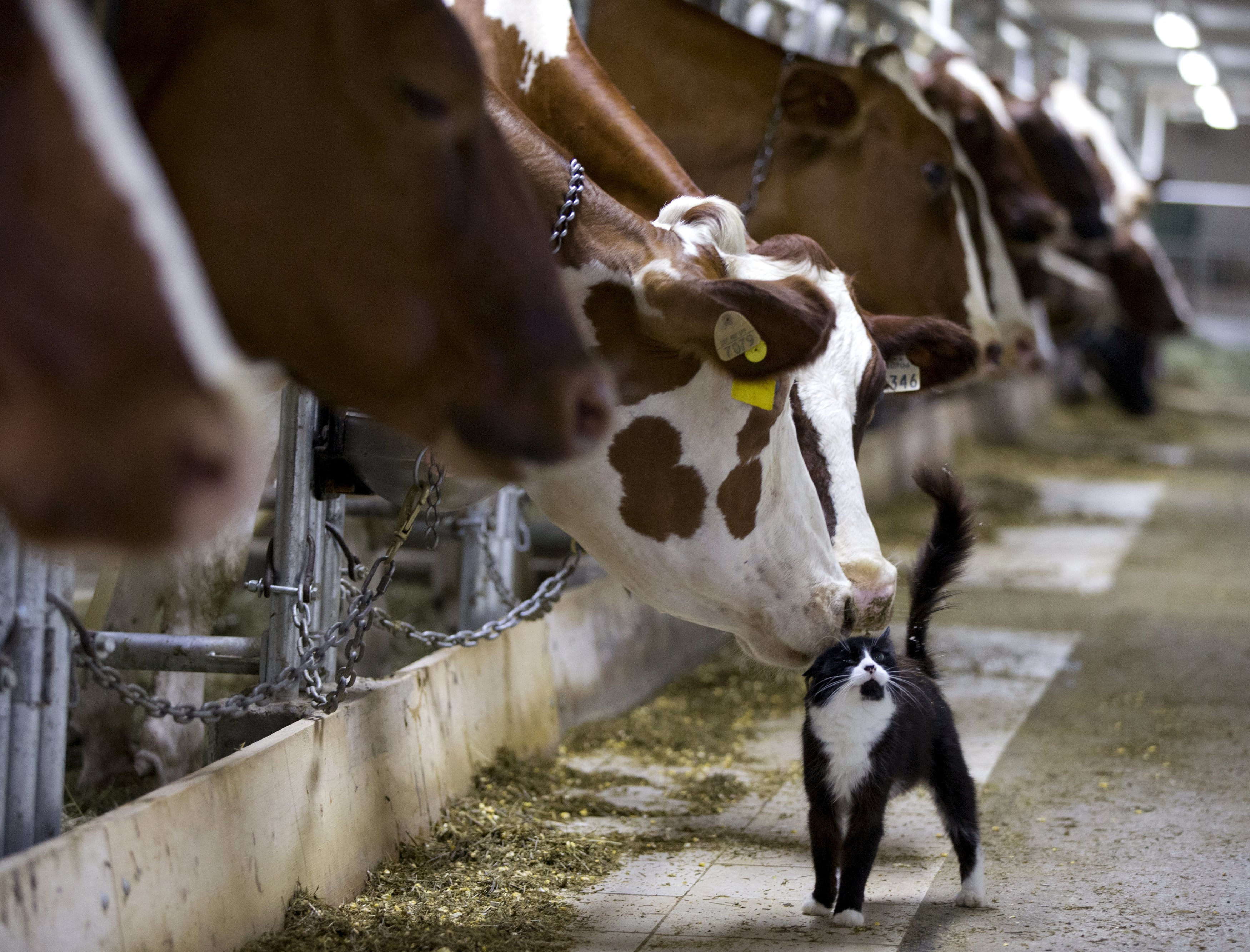 cow0727-2 Dairy cows nuzzle a barn cat as they wait to be milked at a farm in Granby, Quebec.