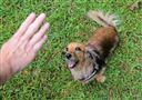 Allie, a miniature dachshund