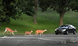 Deer cross in front of a car on Stadium Drive in Mt. Lebanon Municipal Park in 2013.