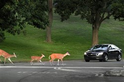 Deer use a Municipal Park crosswalk in Mt. Lebanon.
