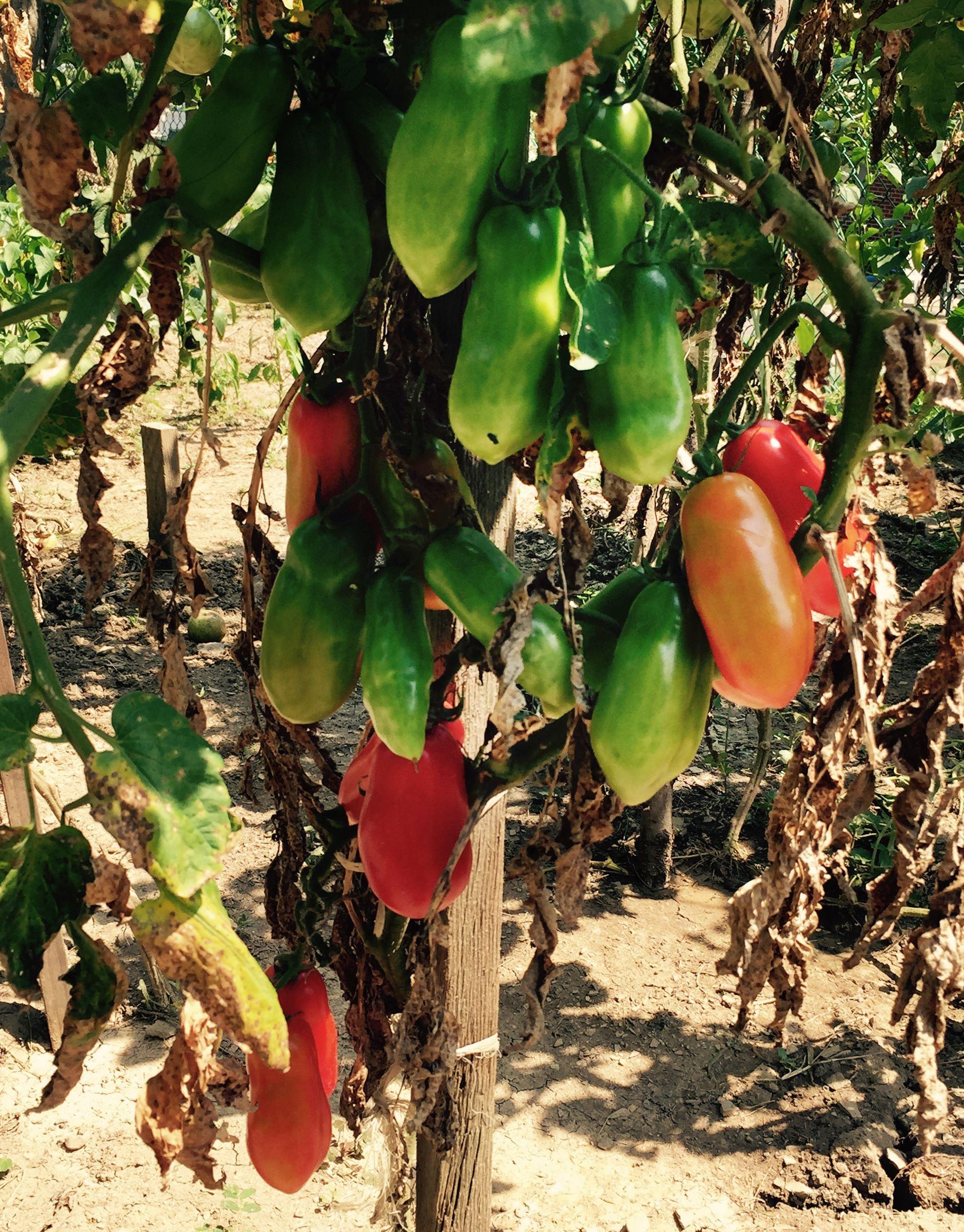 ItaliangardenD-3 'San Marzano' tomatoes in Domenico Carpico's garden.