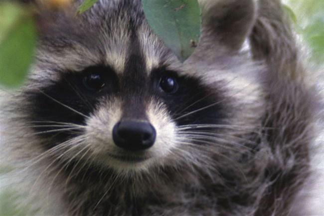 Raccoon in a crabapple tree.
