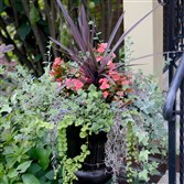 This is a potted Rieger Begonia with ivy and Creeping Jenny in the garden of Sharon Danovich and her husband John Lupone, a winner of the Great Gardens Contest, at their home in Edgewood in 2015.