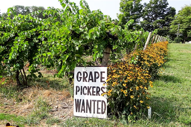 Johnson Estate Winery, just over the border in Westfield, N.Y., is seeking grape pickers to help with the harvest on Sept. 7 to 8. Pickers will be paid $10 per hour and, if they do three hours, a sandwich and a piece of pie.