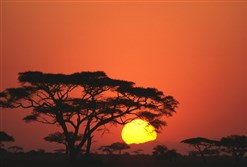 African sunrise and Acacia trees.