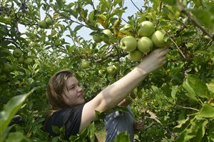 Riley Fuller, 15, reaches for one of the Molly Delicious apples she was picking at Simmons Farm in McMurray while on an outing with her mother and sister. The family was in the area to visit their husband/father who is based in the Washington, Pa., area while working in the oil and gas industry.