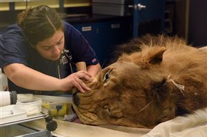 While he's on the medical imaging table, Pittsburgh Zoo & PPG Aquarium Director of Animal Health vet tech Christine Trotta checks the intubation line in Razi, a 6-year-old African lion, to follow up on his being diagnosed with idiopathic epilepsy.