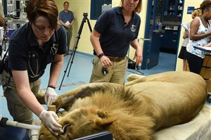 Pittsburgh Zoo & PPG Aquarium veterinarians Alicia Hahn, left, and Gingert Sturgeon supervise an exam for Razi, a 6-year-old African lion, to follow up on his being diagnosed with idiopathic epilepsy.