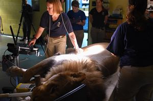 Pittsburgh Zoo & PPG Aquarium director of animal health Ginger Sturgeon does a sonogram on Razi, a 6-year-old African lion with idiopathic epilepsy.