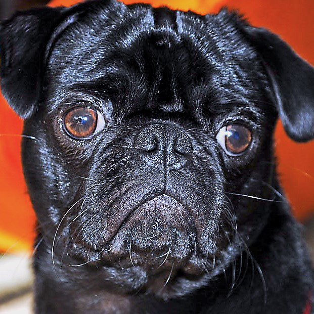 The owners of Paint Monkey in Lawrenceville will hold a fundraiser in honor of their pug, Dude, who died at the age of 6. Proceeds benefit the Western Pennsylvania Humane Society.