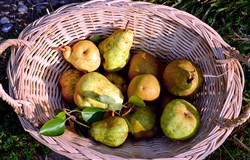 Basket of local pears.