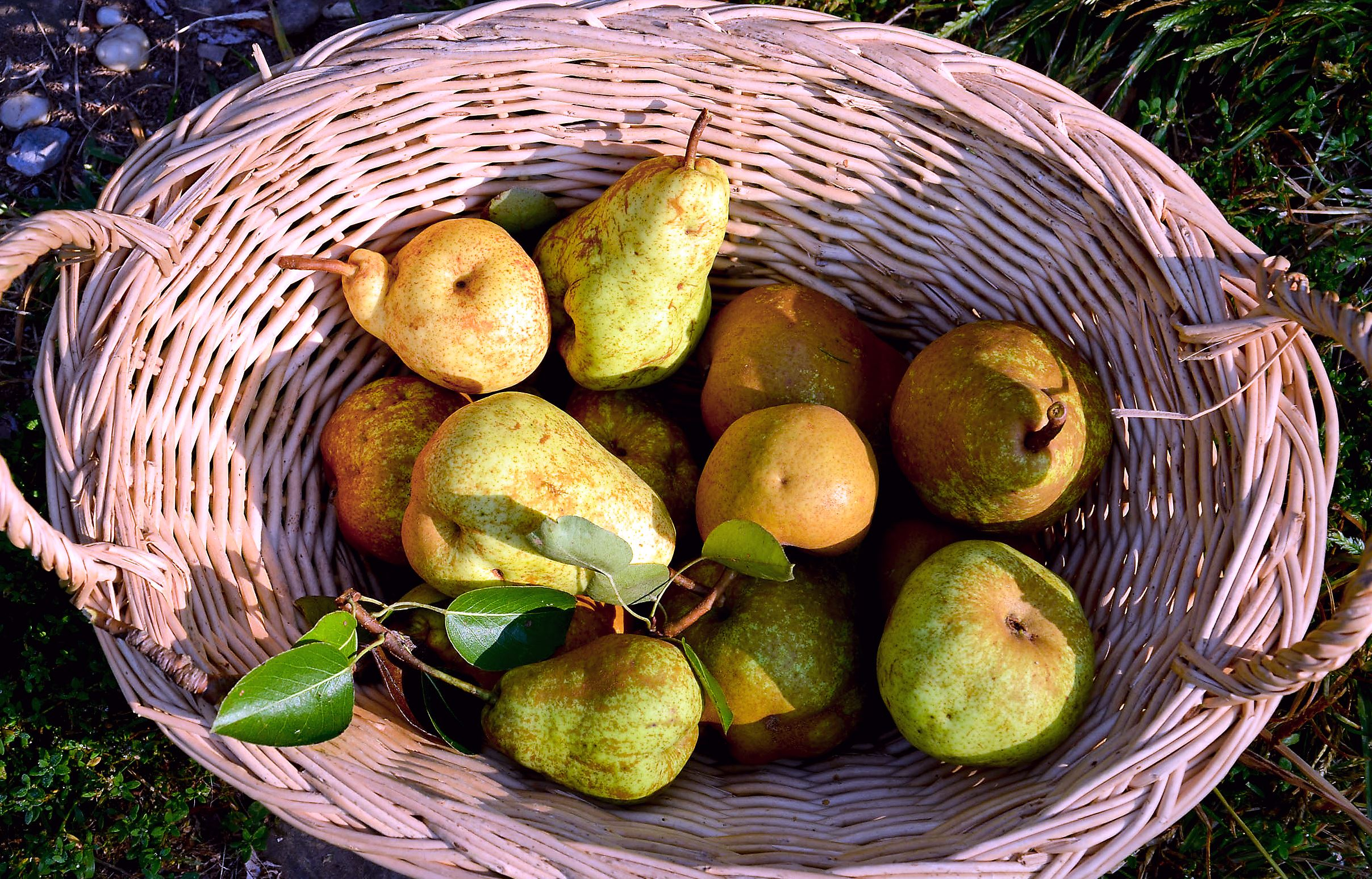 pears Basket of local pears.