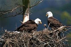 Two bald eagles with their eaglet at Raystown Lake near Huntingdon, Huntingdon County. The Pa. Board of Game Commissioners increased the penalties for killing a bald or golden eagle.
