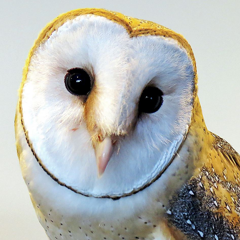 Owls to the rescue: Nesting boxes attract the predatory ...