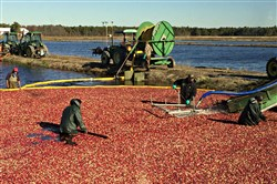 After flooding the cranberry bog with water, workers at Pine Barrens Native Fruits in Browns Mills, N.J., wade through the thigh-high water and round up the fruit with large wooden brooms. Once the bobbing berries are gathered, they're transferred via a pump into trucks.
