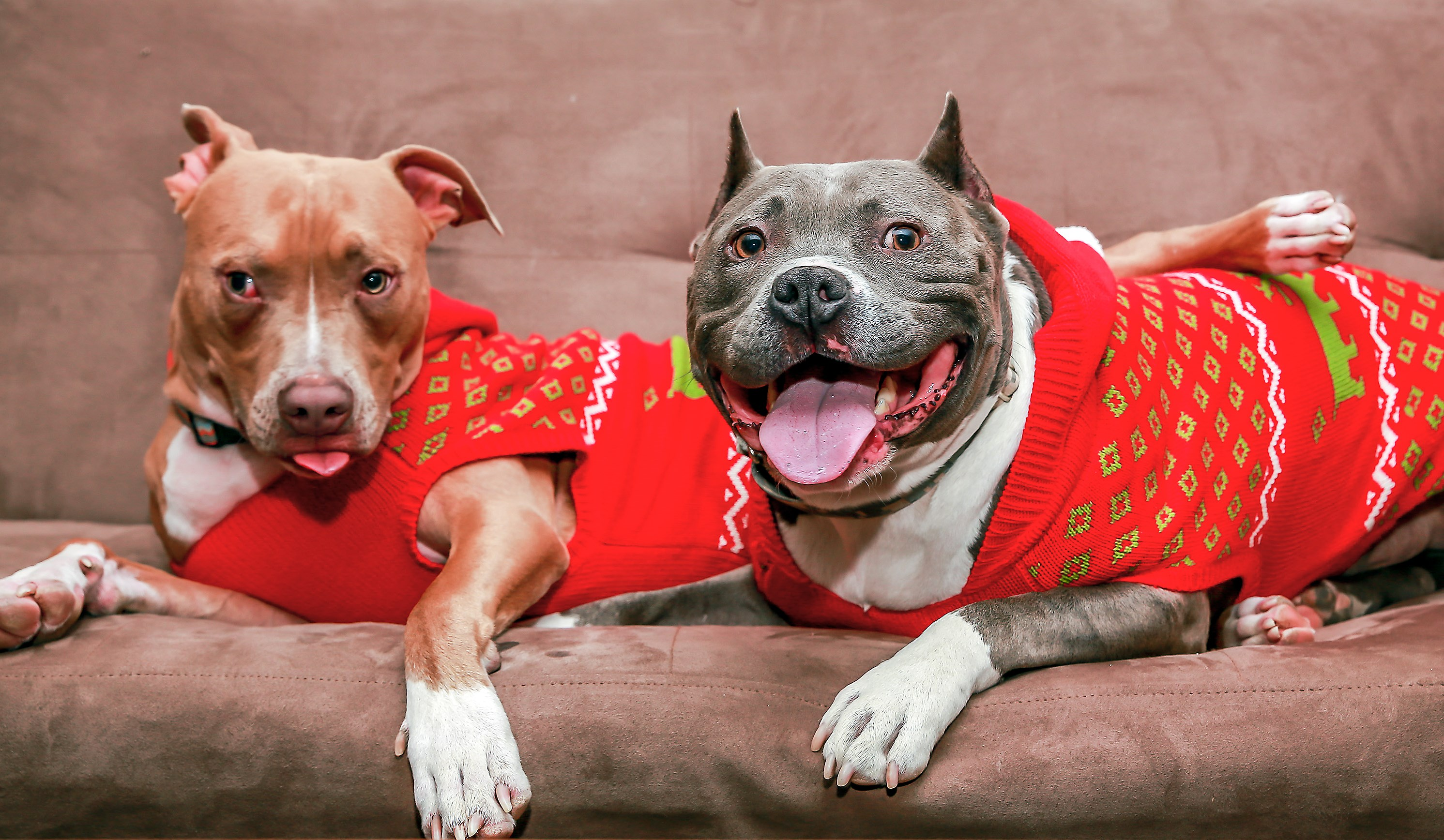 Ducky, right, and Flynn are two Court Case Dogs who have found a home with Christina and Josh Francy of Downers Grove. (Josh Feeney/Safe Humane Chicago)