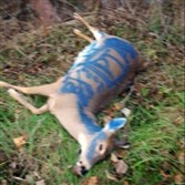 A reader submitted this photo of the deer carcass that was dropped in front of the Peters Township High School on Tuesday morning.