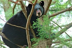 While growing the state's black bear population, wildlife officials have to consider human social concerns.