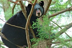 """I believe there's room for more bears,"" said Mark Ternent, a biologist and bear specialist with the state Game Commission, ""but we need to balance that with the human social factor and limit the number of negative human-bear conflicts."""