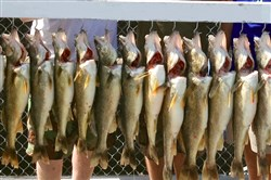 Unusual weather results in an abundance of walleye for Lake Erie.