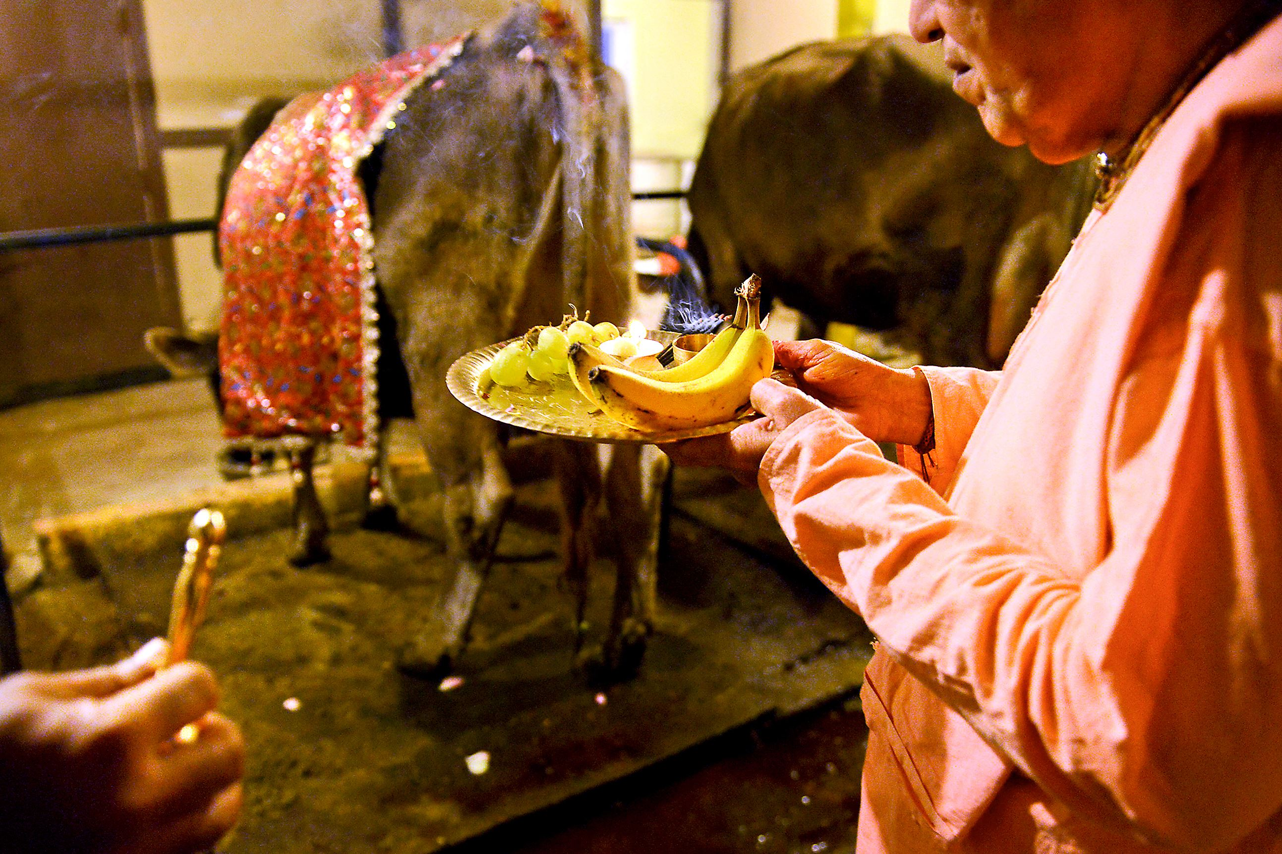 """20151210JR-NewVrindaban4-5 Sri Rupa, 46, left, and Venkadesha Krishna Das, 77, worship in the cow barn at New Vrindaban before dawn on Dec. 1. The cow is a sacred animal in Krishna consciousness. Ananda Vidya Das, who cares for the cows said he was originally concerned that """"fracking"""" might harm the animals, but changed his mind. """"I support their [leaders] intelligent decision. Just like a knife in the hand of a doctor can do good, a knife in the hand of a murder can do harm,"""" he said making an analogy to the revenue from signing a drilling lease."""