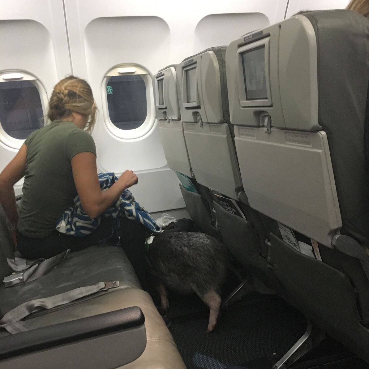 pigsfly3-2 Megan Peabody and her pig, Hamlet, await takeoff on a plane to Puerto Rico on Dec. 25.