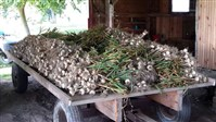 Harvested garlic at Enon Valley Farms.