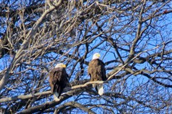 The eagle parents in Harmar.