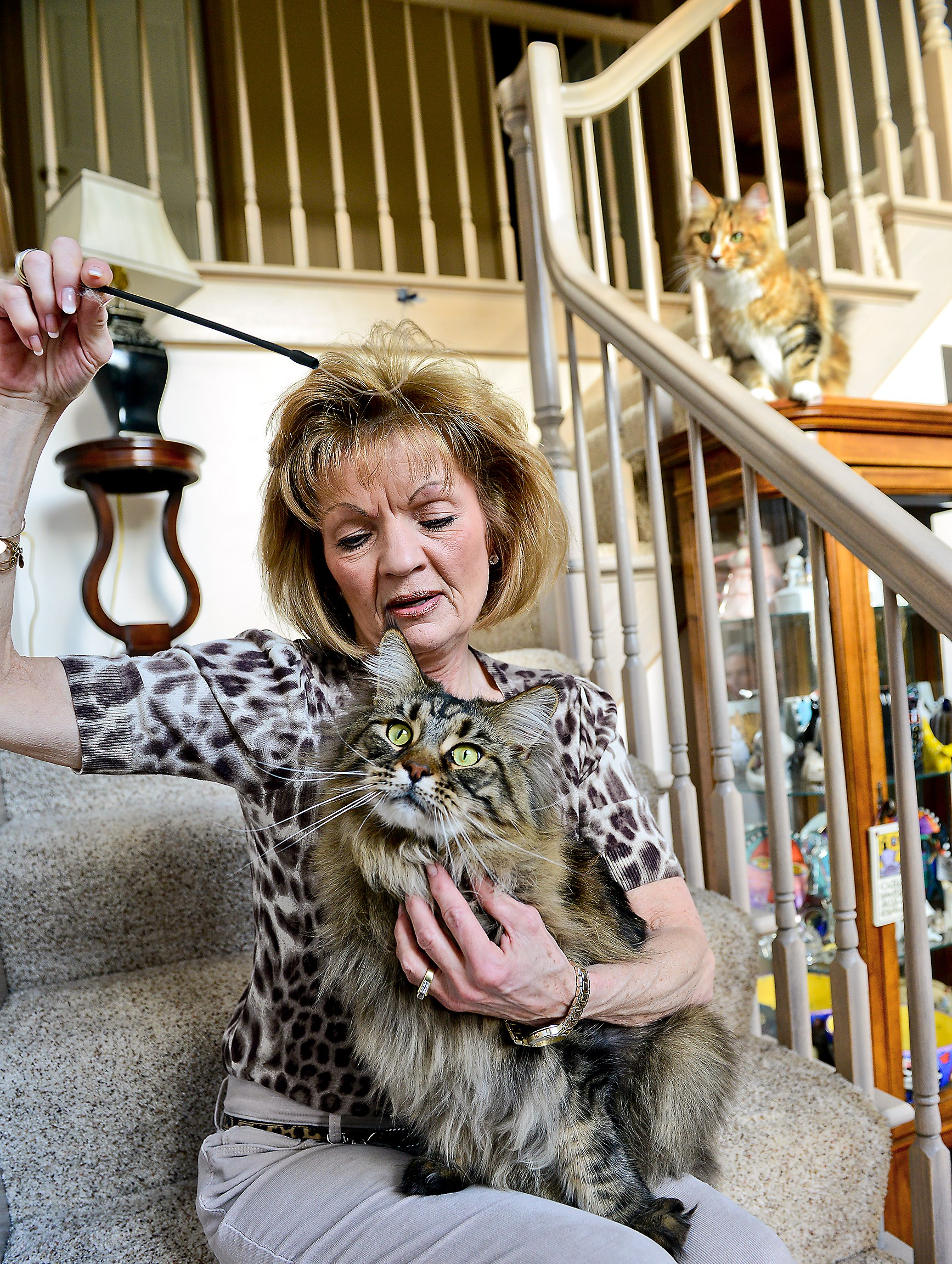 Alice Schepp, chairman of the Steel City Kitties cat show, holds  Coopurr, her Maine coon, at her home in South Fayette.
