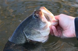 When the water temperature is right, pre-spawn bass move shallower and closer to shore to ready their redds.