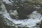 Screenshot of video taken this morning shows one of the bald eagles in the Hays nest turning the newly hatched.