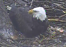 The Hays bald eagles have produced a second egg.