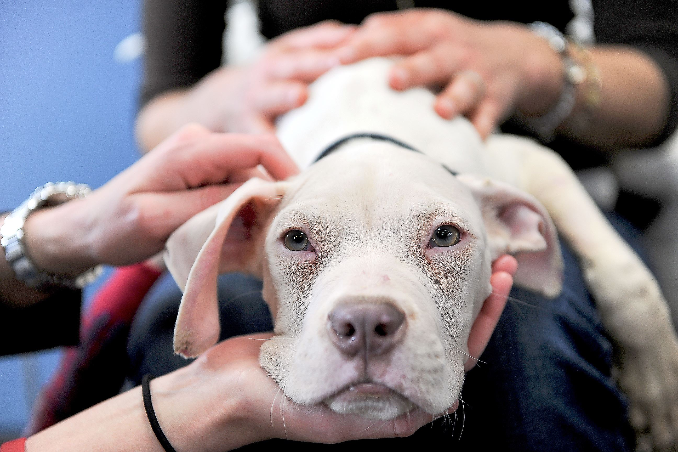20160226rldValentino01 After a news conference and lots of attention Friday, Valentino, a pit bull mix, is patted by admirers Colleen Schaefer, left, and Natalie Ahwesh at the Animal Rescue League Shelter in Larimer.