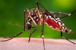 This photo shows a female Aedes aegypti mosquito in the process of acquiring a blood meal from a human host.