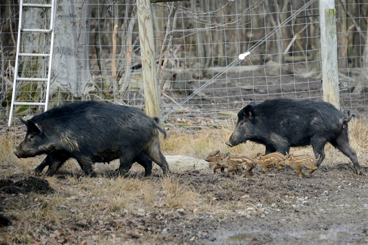 20160301lf-Boar02-1 Boars wander in the property owned by Larry Lint of The Pig Farm in Six Points, Pa., on Tuesday, March 1, 2016.