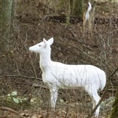 An albino buck at the Rolling Rock Club in Westmoreland County.
