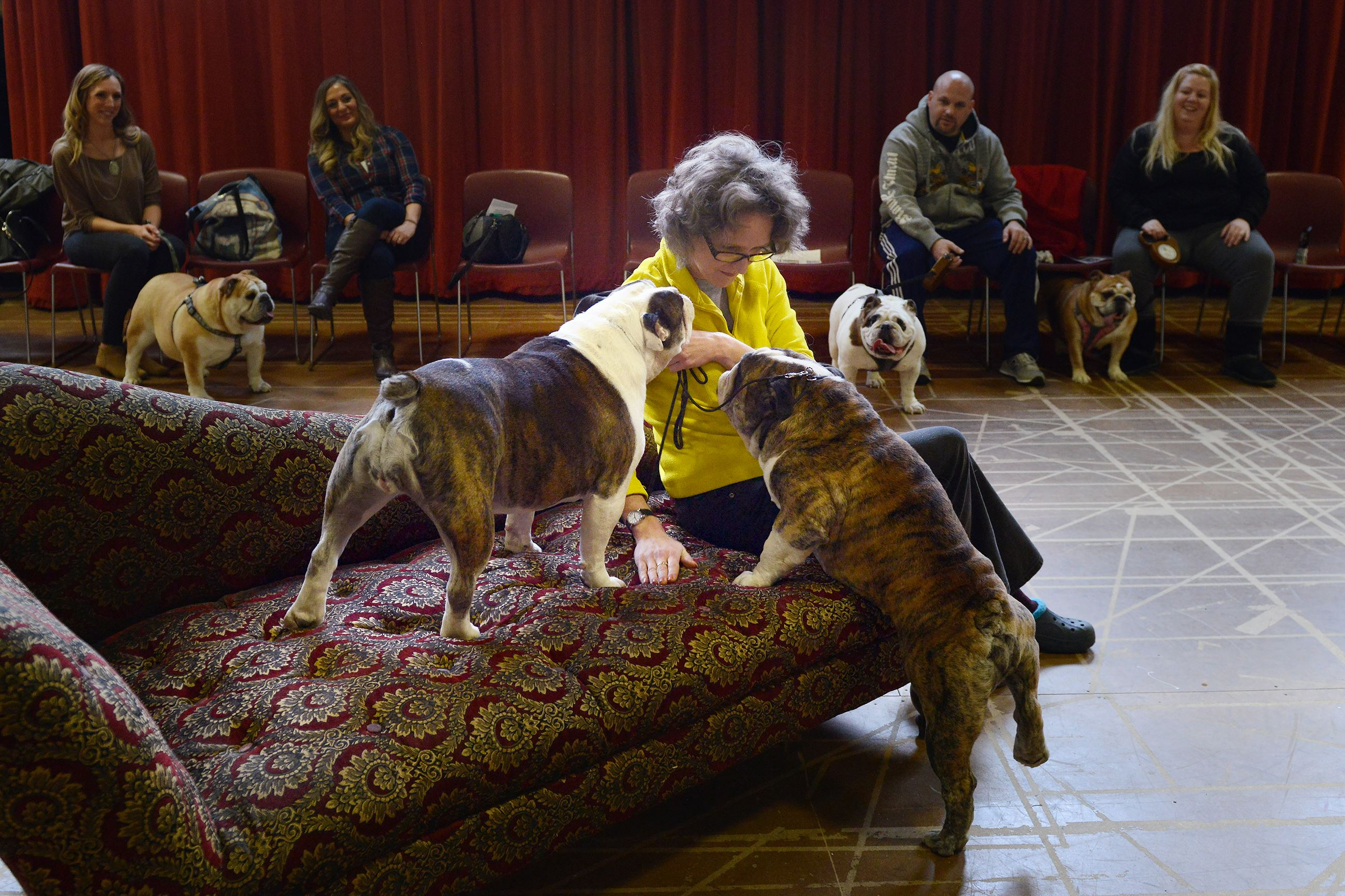 "20160305rldBulldogAudition02-1 Director of production Tara Kovach tries to get two bulldogs to jump up on a settee during an audition Saturday for the Pittsburgh Opera's upcoming performance of ""The Barber of Seville."""