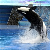 A killer whale performs during a show at the SeaWorld theme park in Orlando, Fla., Saturday, Feb. 27, 2010.  SeaWorld is phasing out its orca breeding program and discontinuing the shows.
