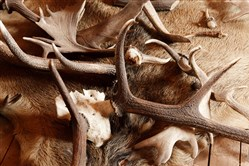 Shed hunters search woodlands for antlers that have been shed by deer.