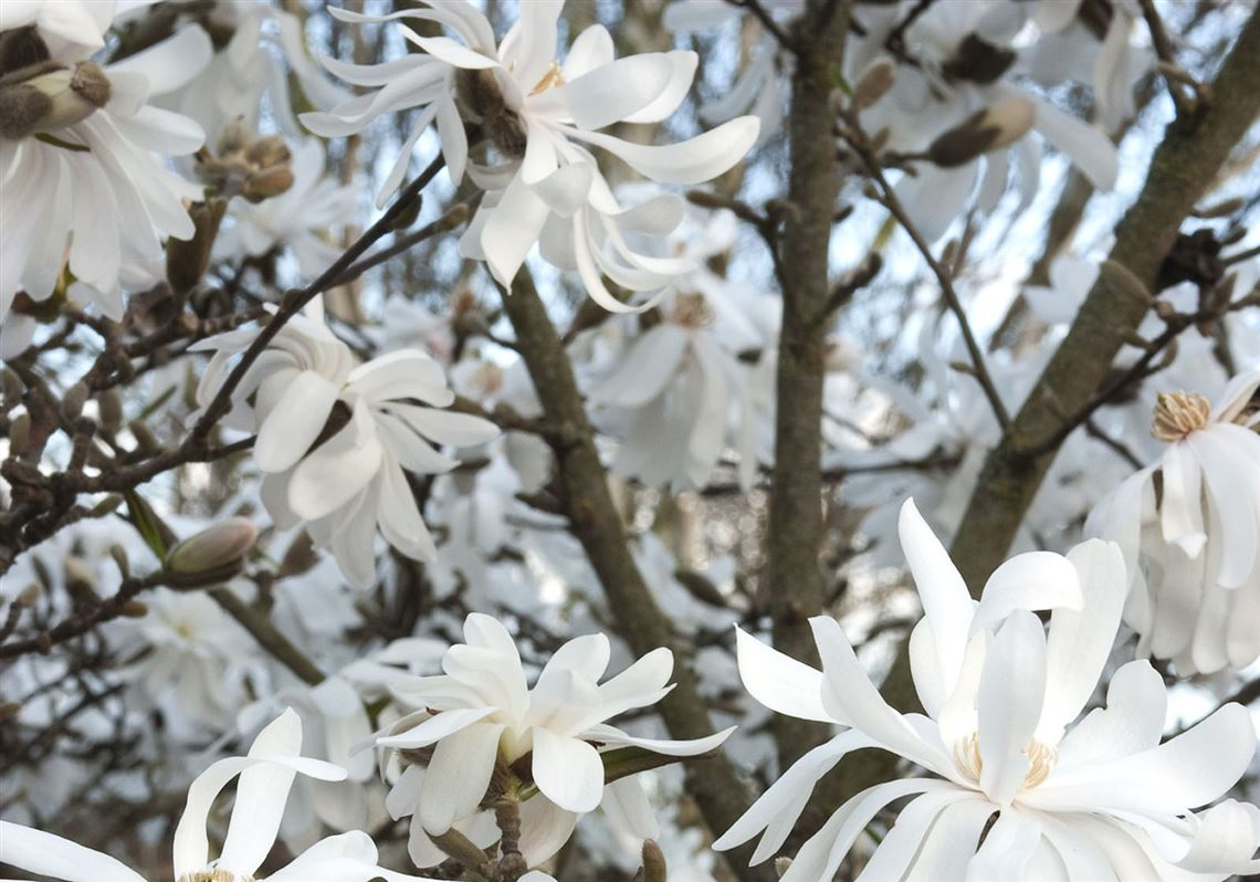 Star Magnolia Is A Standout Any Time Of Year Pittsburgh Post Gazette