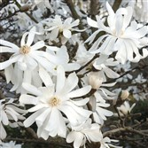 'Royal Star' star magnolia (Magnolia stelatta) blooms even at a very young age.