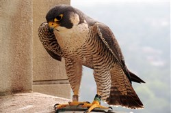 A peregrine falcon nested on top of the Cathedral of Learning building on the Oakland campus of the University of Pittsburgh.