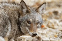 Eastern coyotes are everywhere -- in every Pennsylvania county, throughout Pittsburgh's suburbs and even within the city limits.