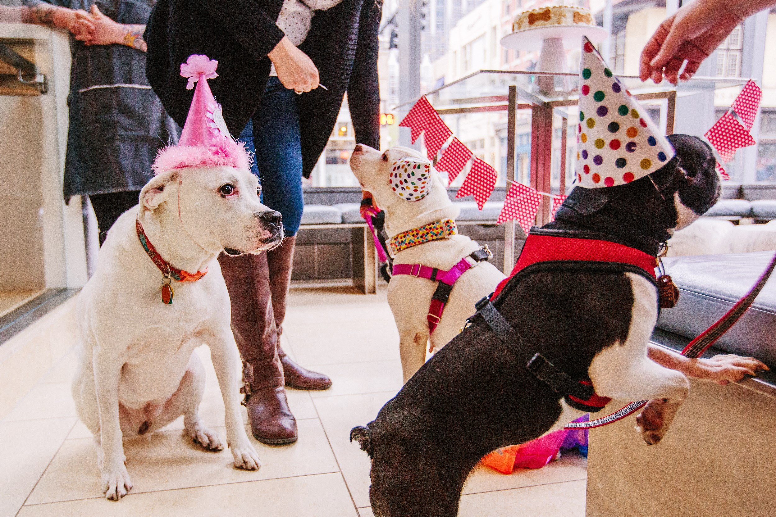 Edie, left, and guests enjoy celebrating her sixth birthday at the Pittsburgh Fairmont hotel, Downtown on Monday. She is the hotel's canine ambassador.