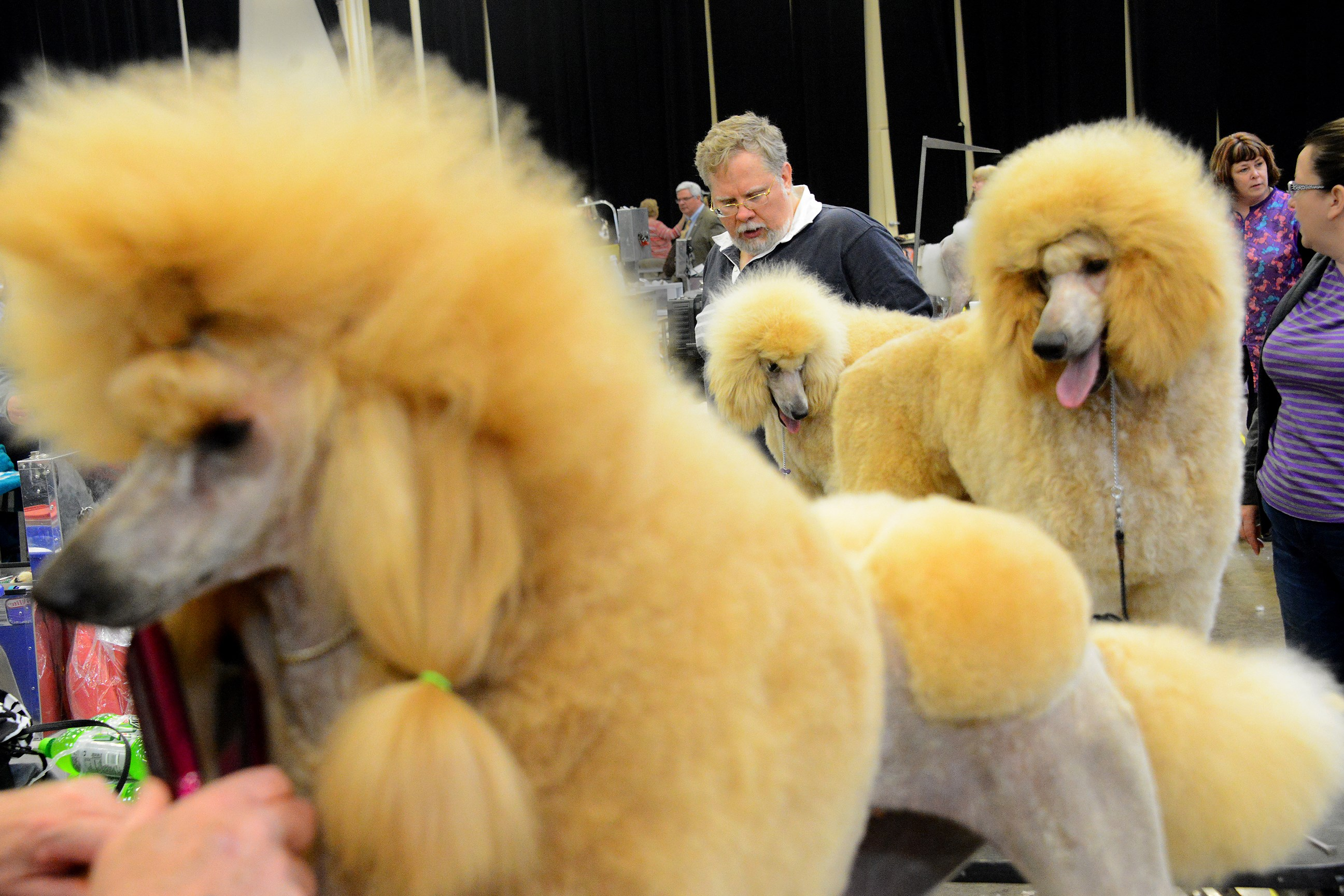 Groomer Mark Gresh of Hopewell tends to 9-month-old Elizabeth, an apricot standard poodle, in the Western Pennsylvania Kennel Association dog show Saturday at Monroeville Convention Center. Terry Farley of Washington, Pa., owns all three poodles. At left is Taylor, 2, and Cullin, 6 months old.
