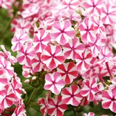 "'Peppermint Twist ' phlox is one of the plants included in Kelly Norris' book ""Plants with Style"" for Timber Press."