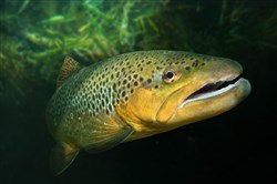 Brown trout populate Allegheny County waterways thanks to angler-funded programs.